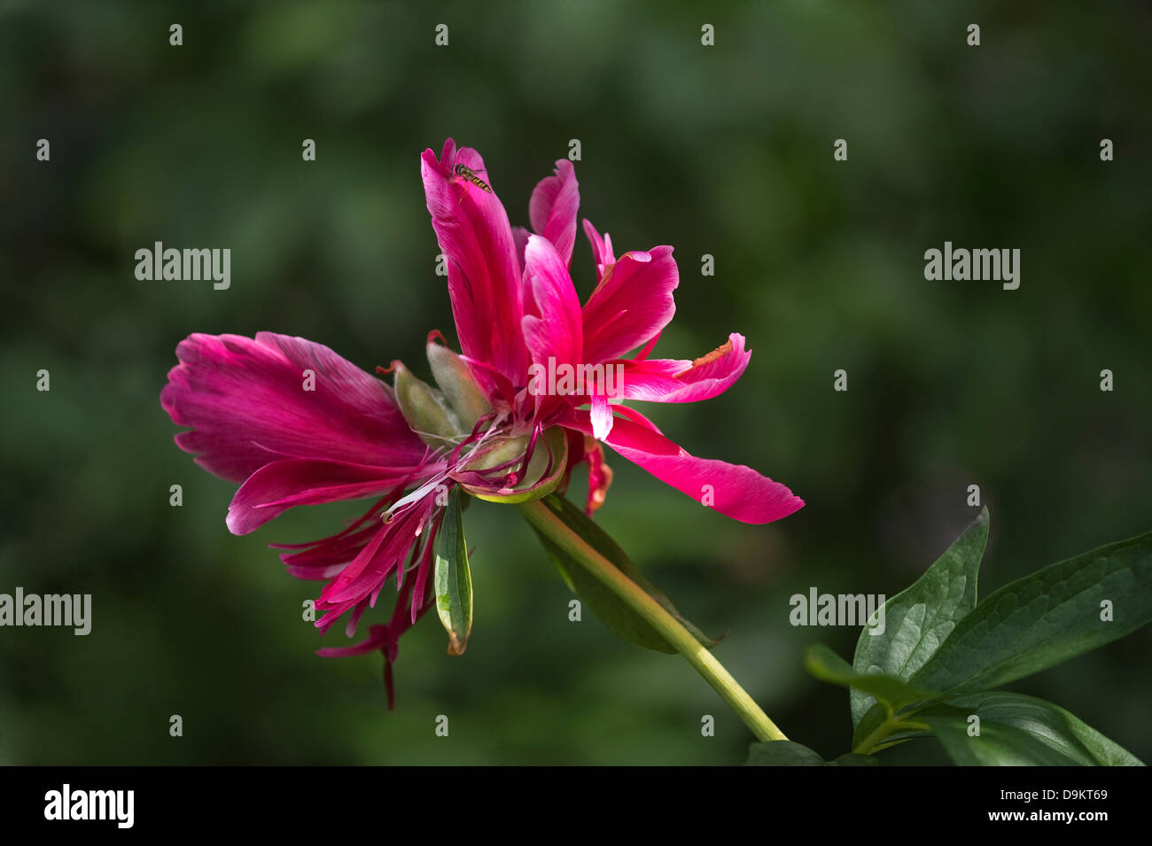 Peony (Paeonia sp.) flower past its best with seed capsule garden Adel Leeds West Yorkshire - Stock Image