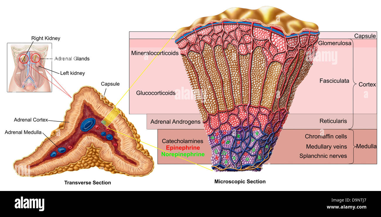 Anatomy of adrenal gland, cross section Stock Photo: 57643327 - Alamy