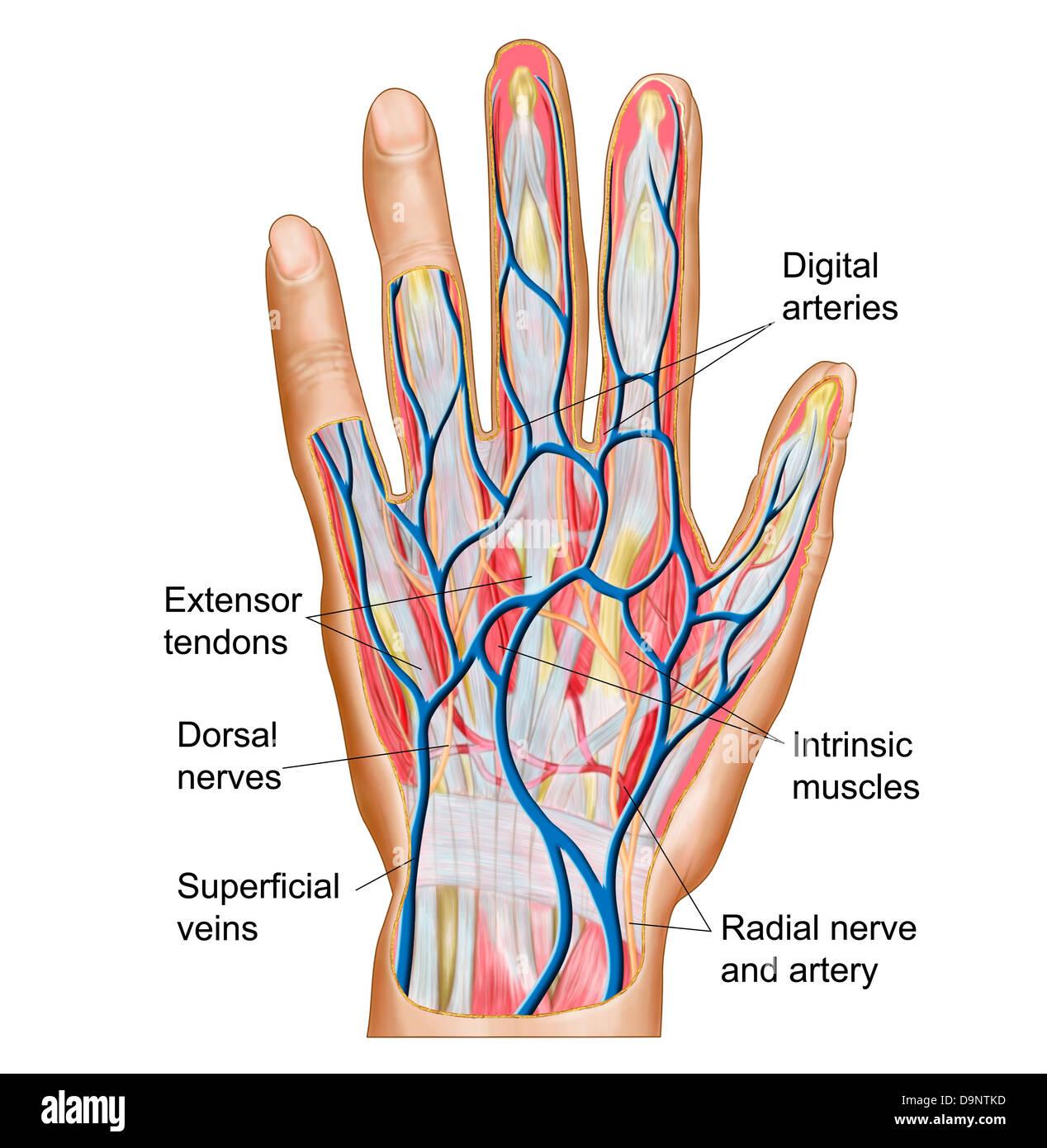 Anatomy of back of human hand Stock Photo: 57643361 - Alamy