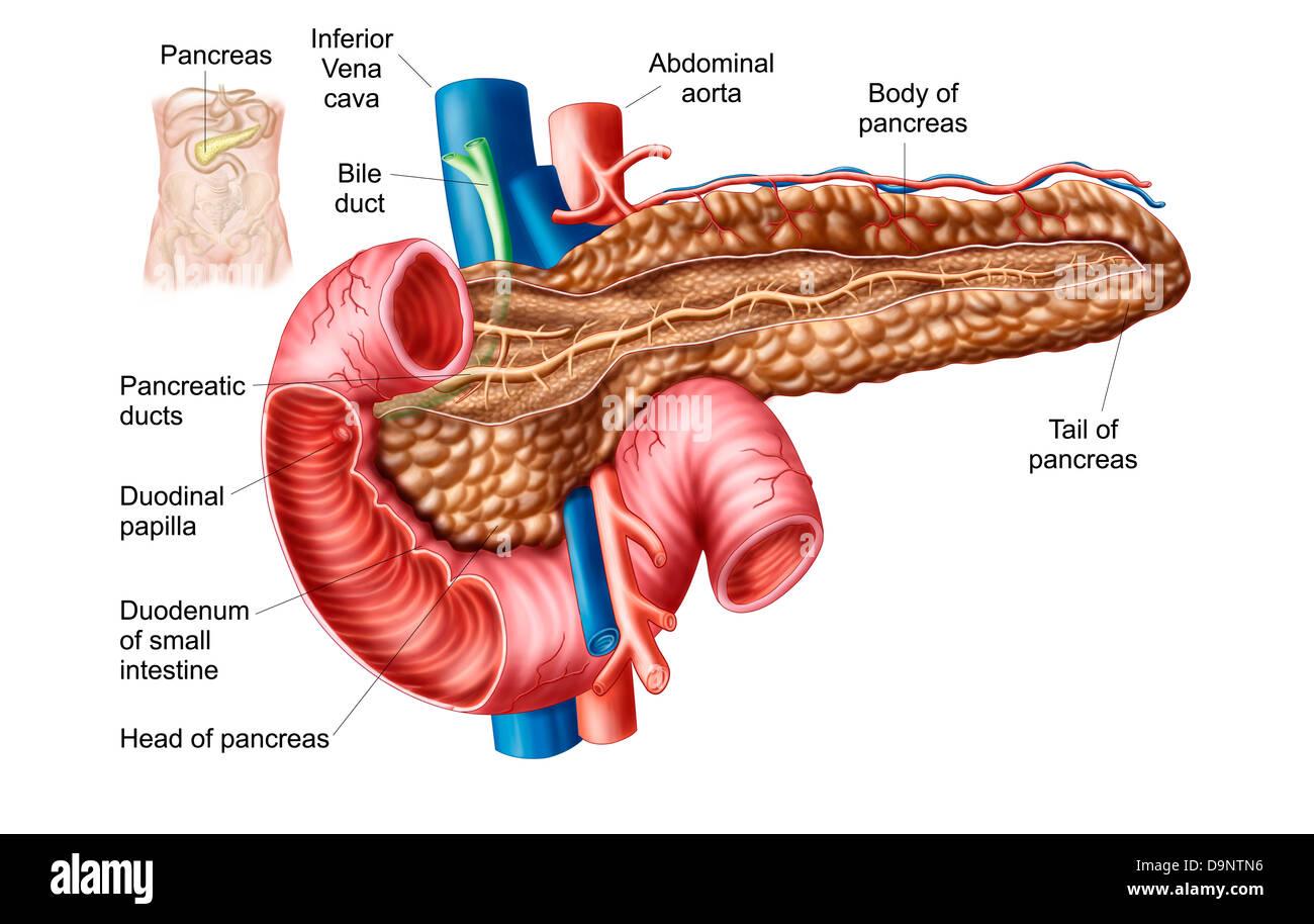 Anatomy of pancreas Stock Photo: 57643410 - Alamy