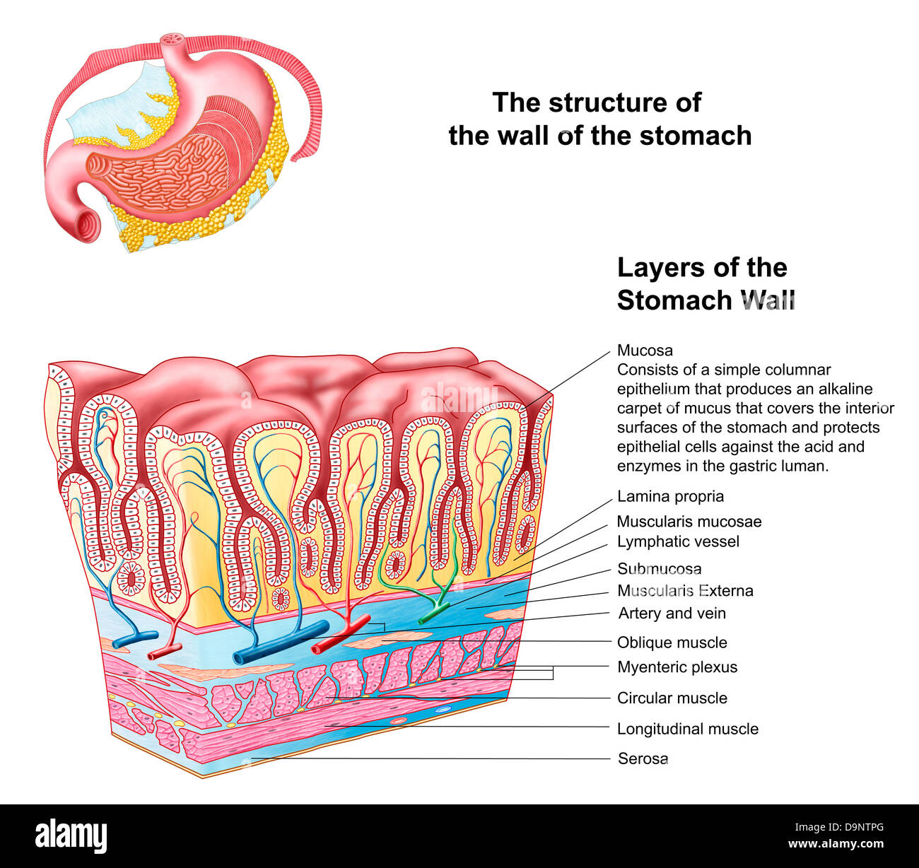 The structure of the stomach: departments, layers 24