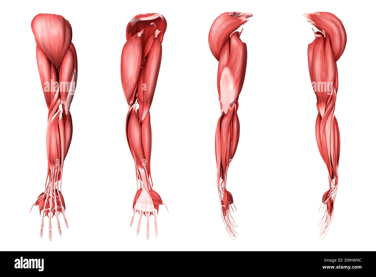 Medical Illustration Of Human Arm Muscles Four Side Views Stock