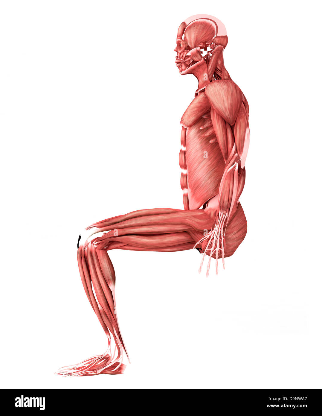 Medical Illustration Of Male Muscles In A Sitting Position Side
