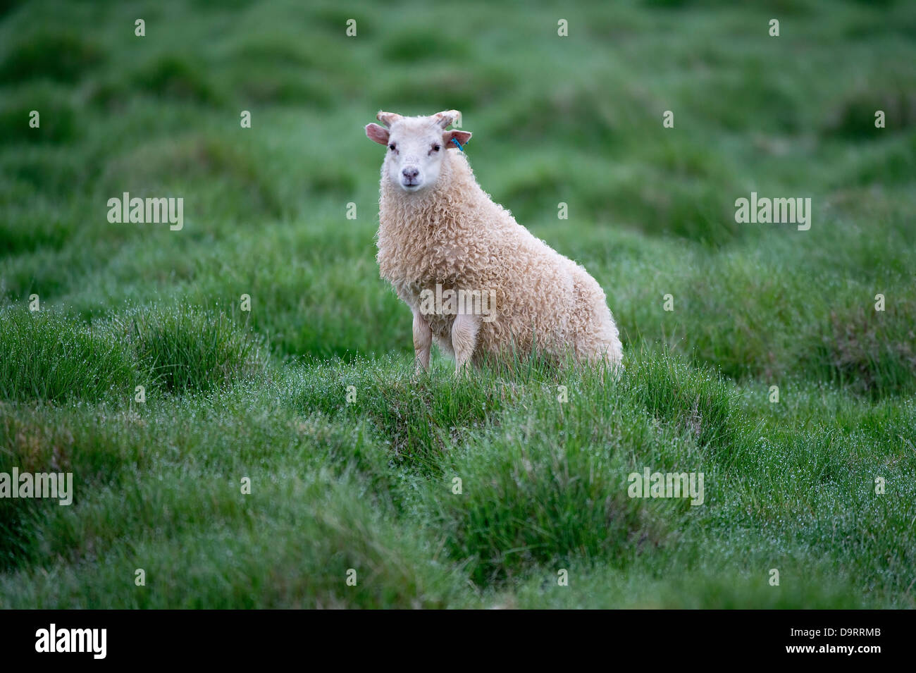 Icelandic lamb standing on hillock on pasture early morning - Stock Image