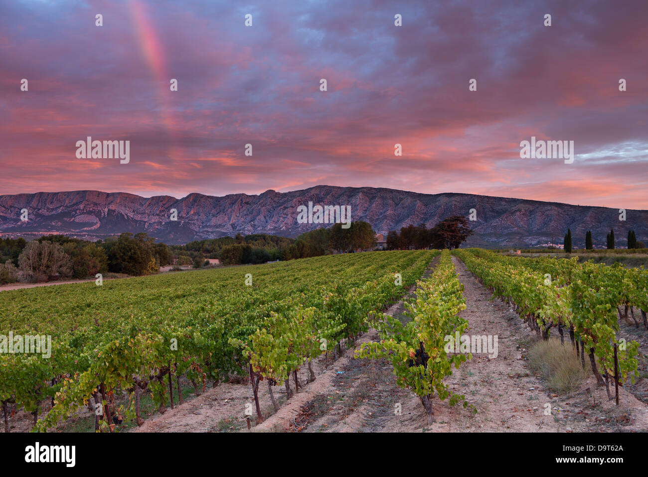 a vineyard nr Puyloubier with the Montagne Ste Victoire at dawn, Var, Provence, France - Stock Image