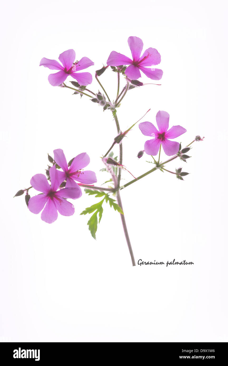 Canary Island geranium (Geranium palmatum) flowers seed capsules and leaves on the white background June England - Stock Image