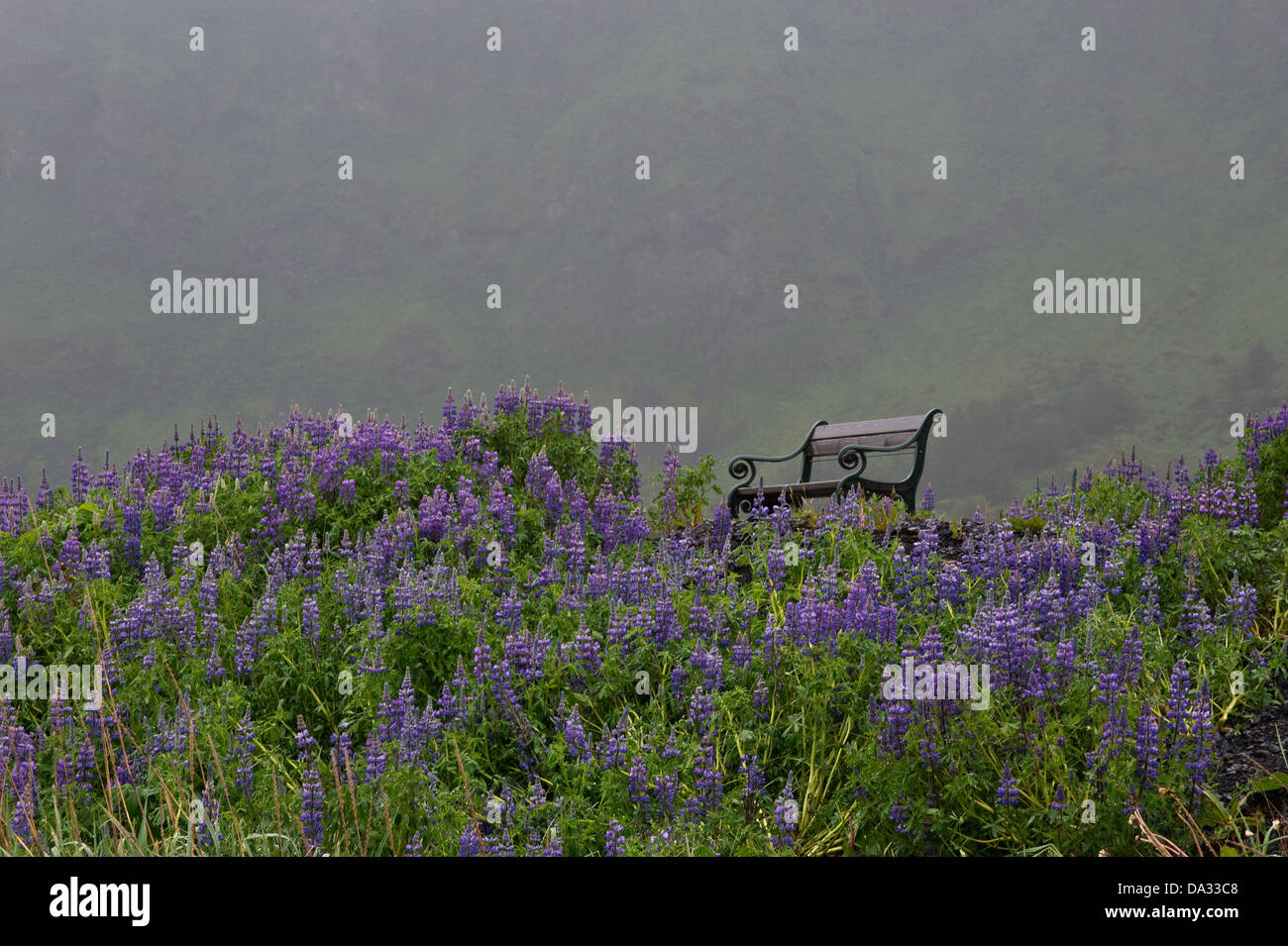 Nootka Lupin (Lupinus nootkatensis) flowers with bench early morning mist   Southern Iceland Europe - Stock Image