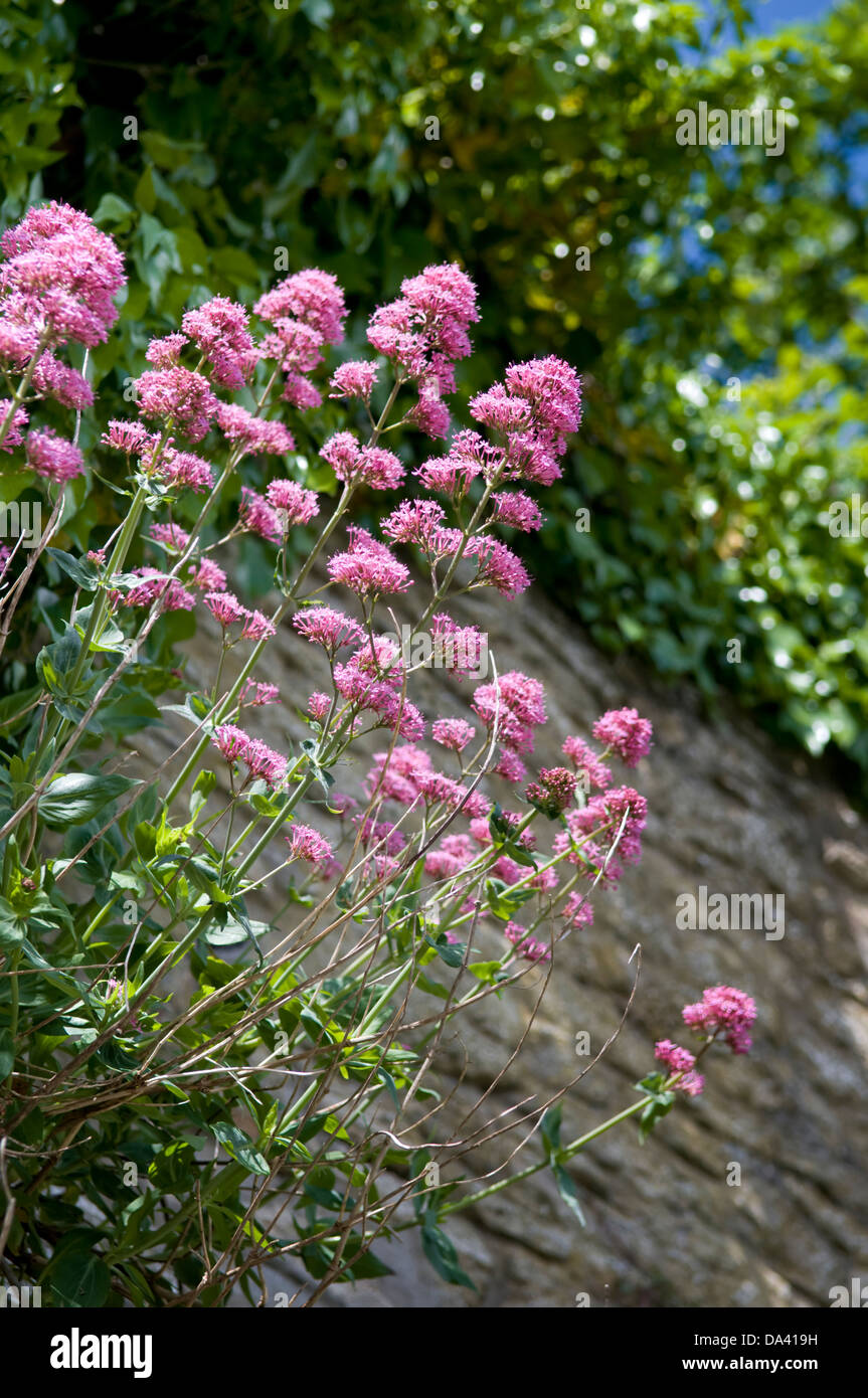 Pink flowering Valerian plant growing out of old stone wall taken in Frome, UK - Stock Image