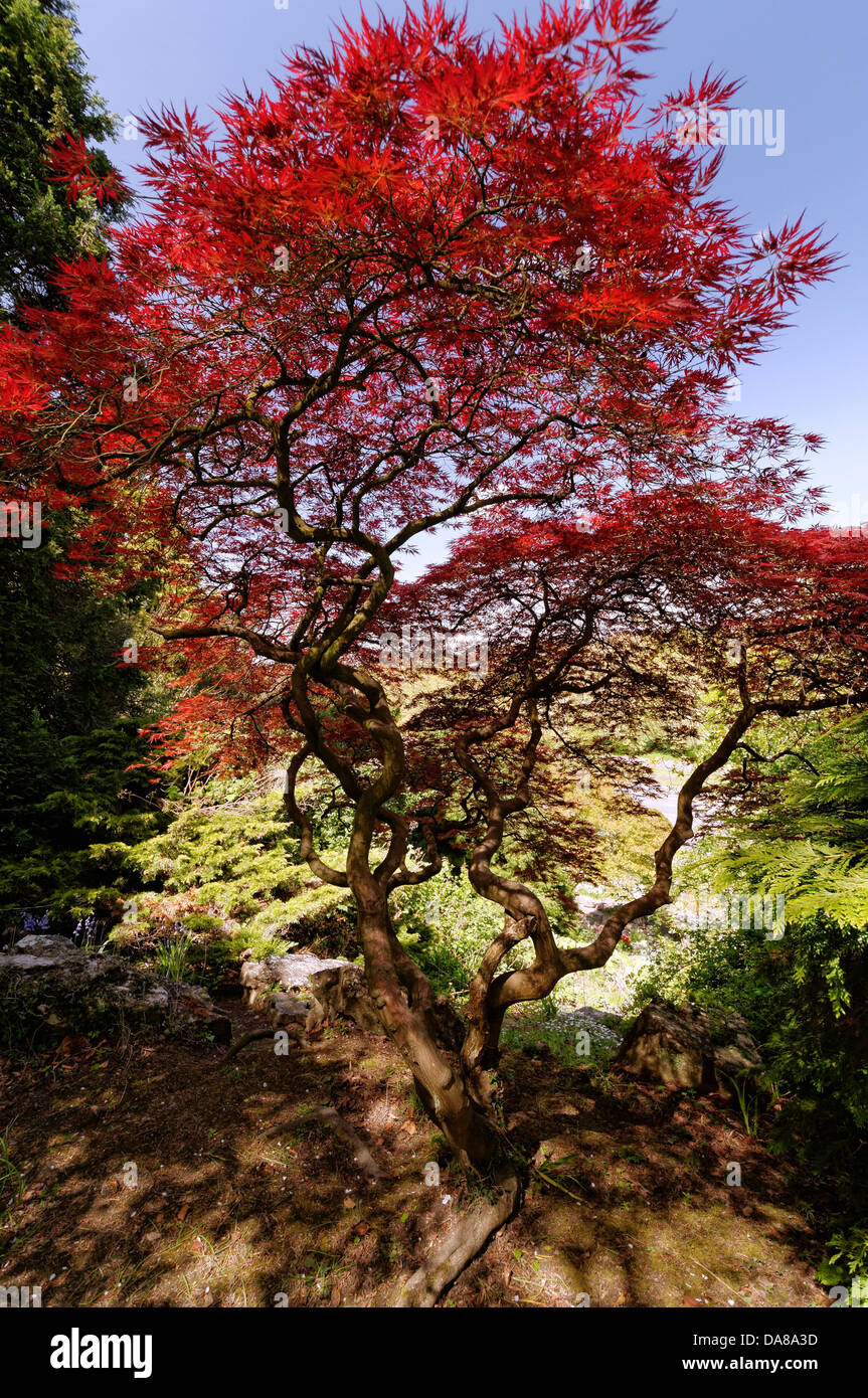 Acer Palmatum - Polymorphum Japanese Maple Tree, The Rockery, Rock ...