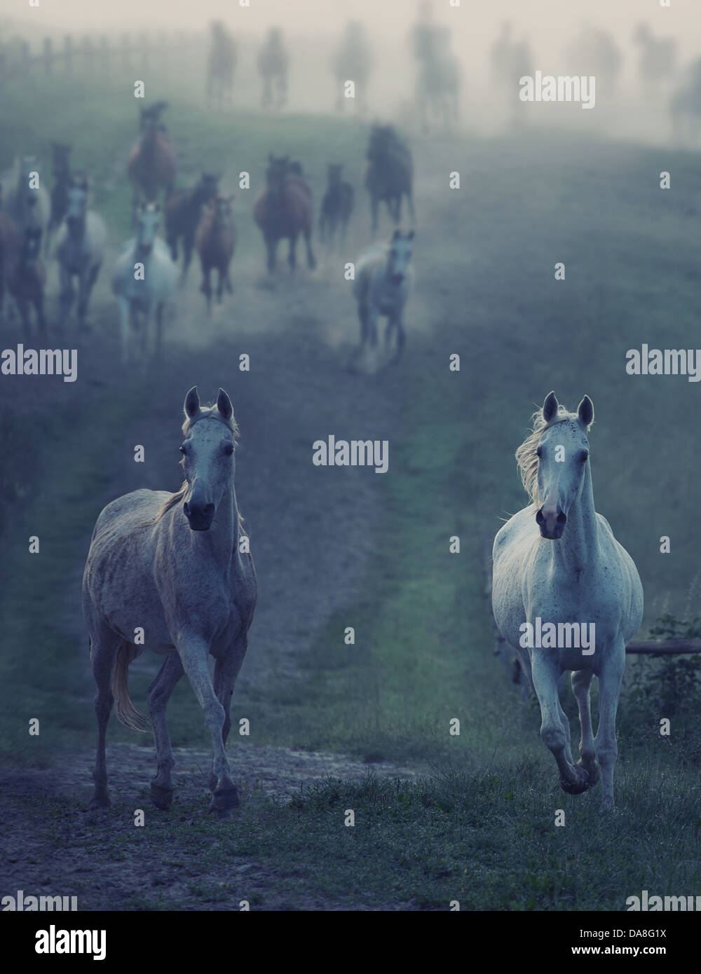 Bevy of wild horses running through the rular path - Stock Image
