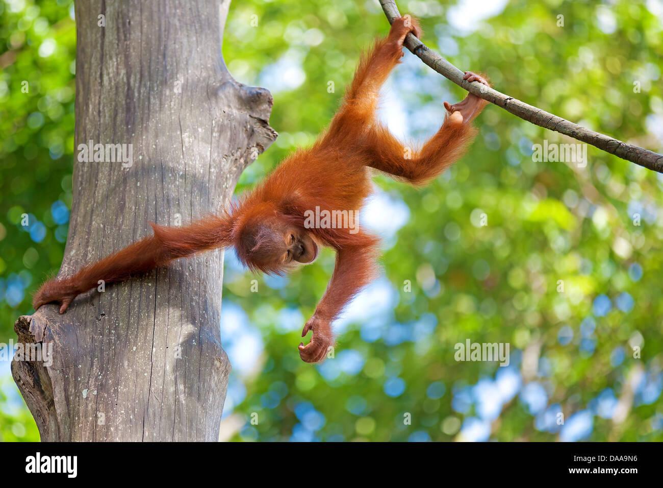 Borneo Orangutan - Stock Image
