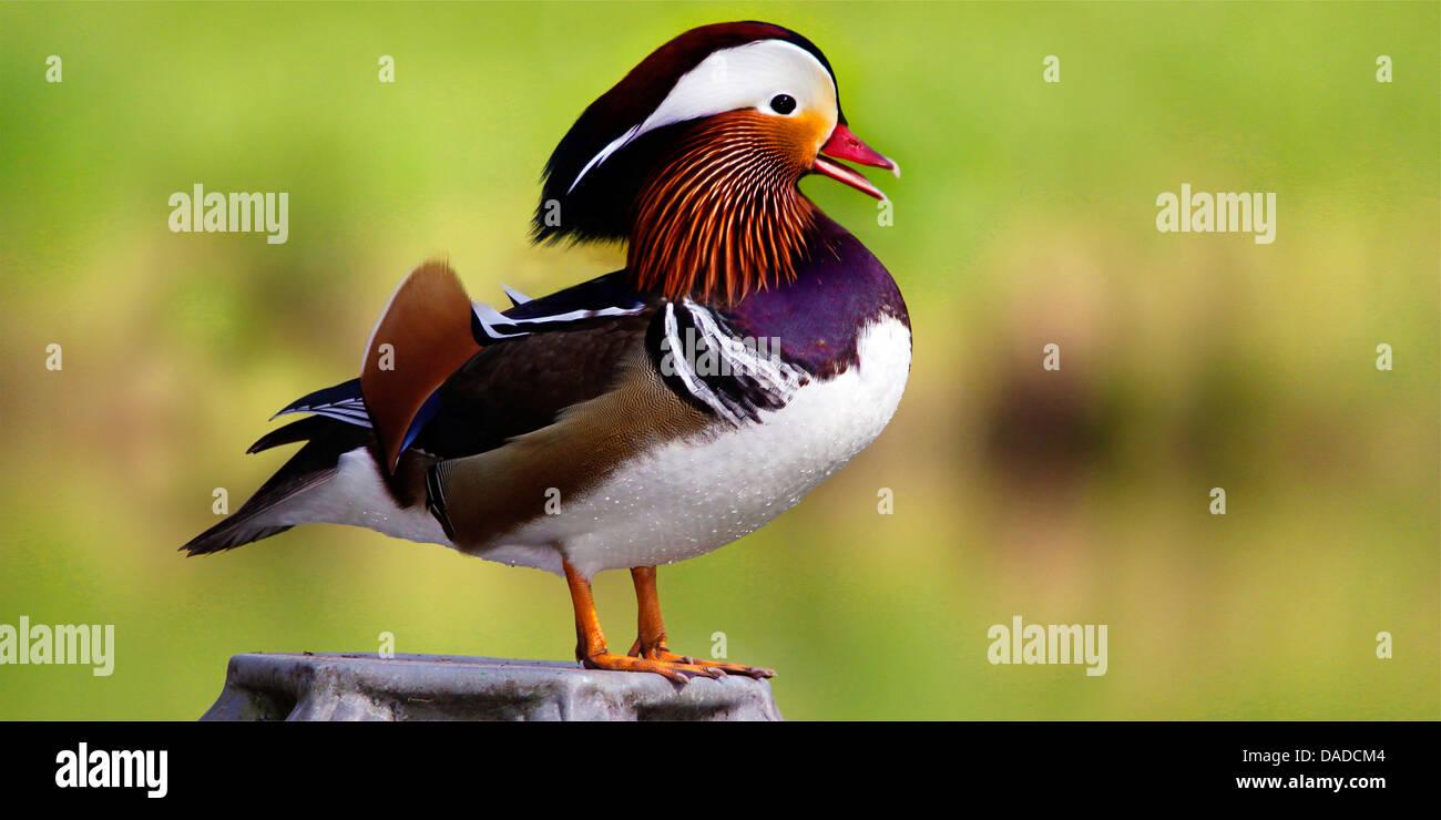 mandarin duck (Aix galericulata), male, Germany, 1 - Stock Image