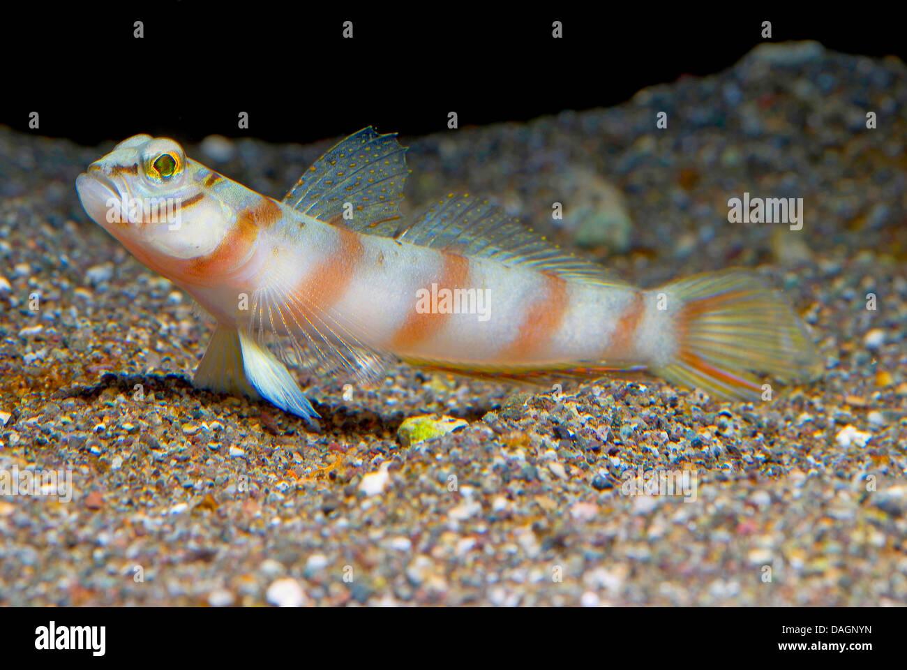 Diamond Diagonal Bar Prawn Goby  (Amblyeleotris diagonalis), on sediment - Stock Image