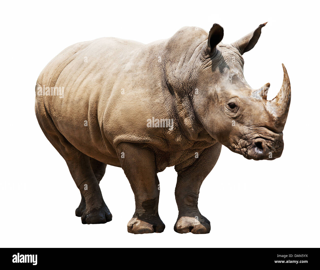 huge rhino isolated on white - Stock Image