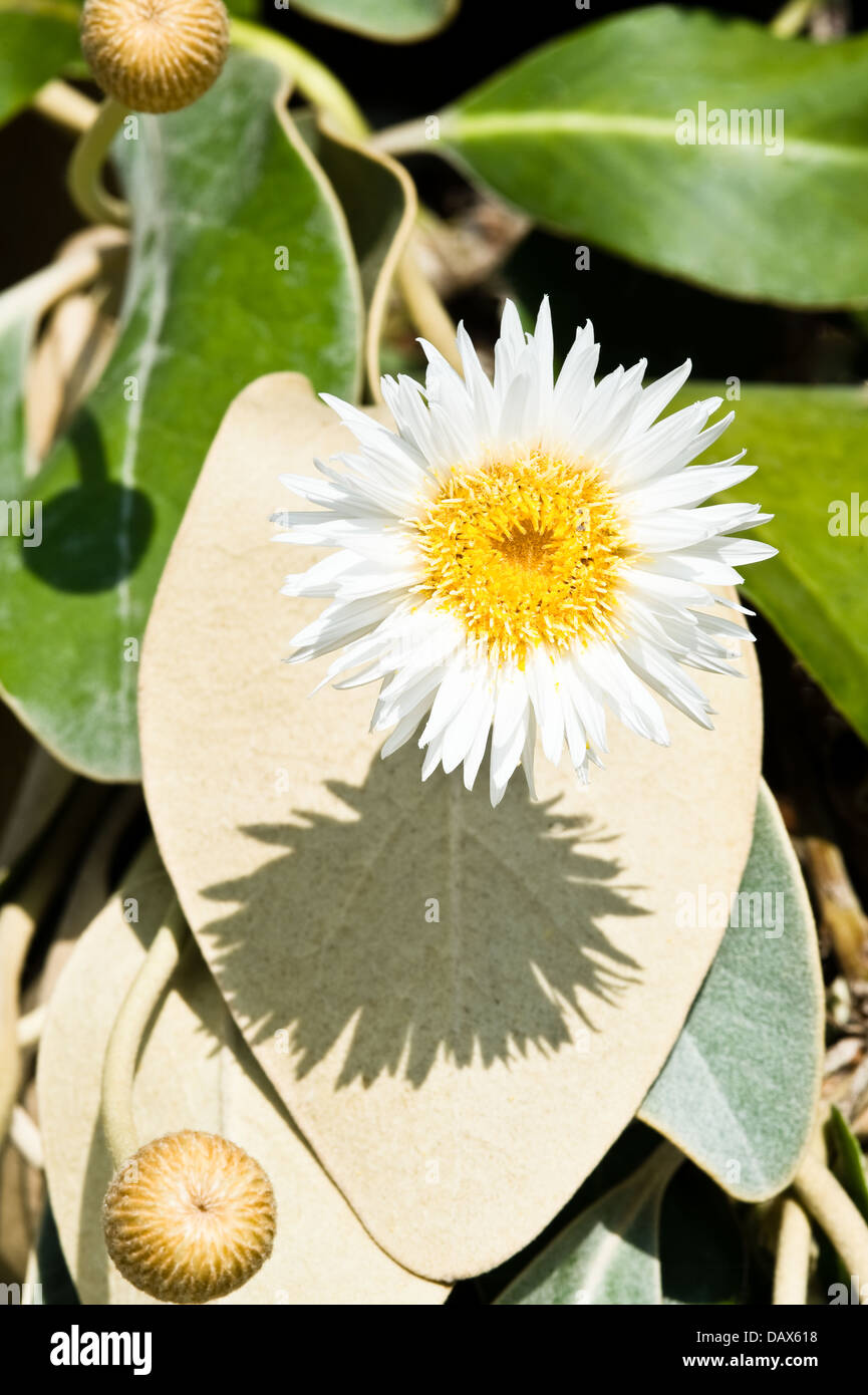 Marlborough rock daisy (Pachystegia rufa) flower leaves and buds native to restricted areas of New Zealand - Stock Image