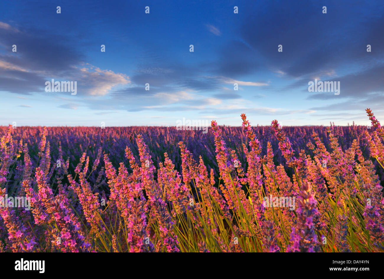 Lavender flower in Provence - Stock Image