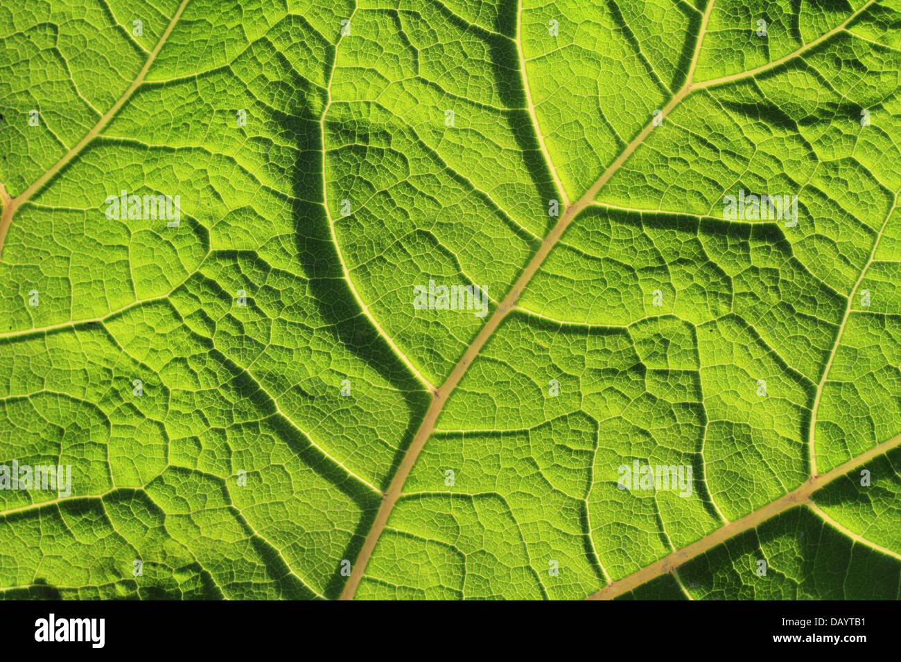 a-back-and-sidelit-leaf-of-common-butter