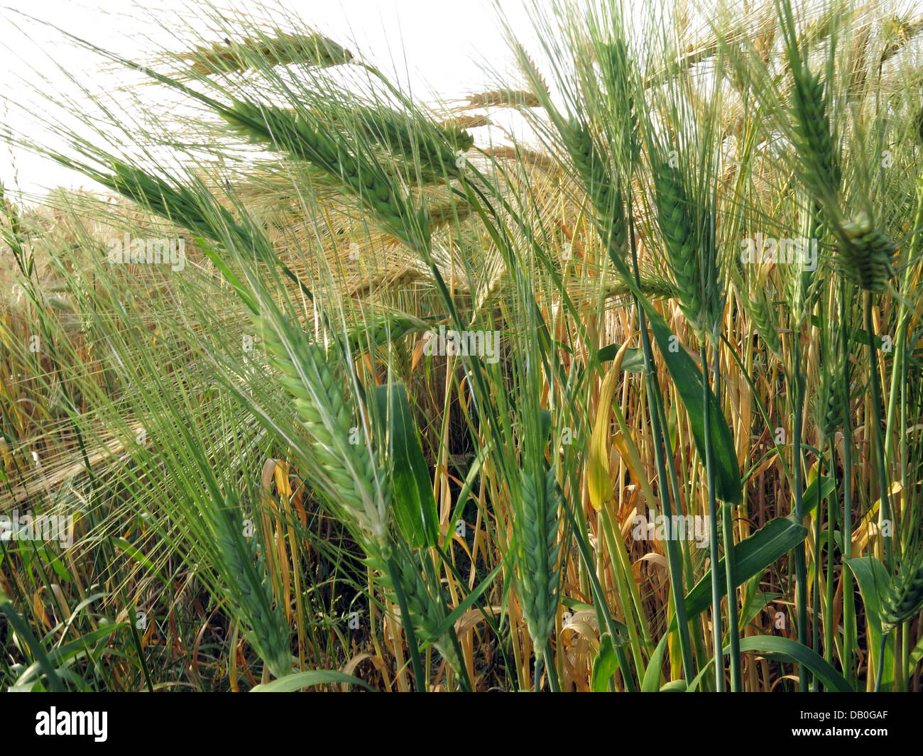 Sun,sunny,isolated,macro,close,up,closeup,close-up,cereal,grain,british,Wheat,English,england,field,farmer,farmers,farming,arable,grain,world,trade,vegetable,protein,food,Triticeae,Triticum,starch,endosperm,ear,white,flour,Gluten,sensitivity,sensitive,undetected,coeliac,disease,celiac,gliadin,Gotonysmith,barley,and,rye,gliadin,the,enzyme,tissue,transglutaminase,gluten-free,diet,glutenfree,harvested,harvests,festival,high,quality,prices,price,bushel,yield,improvement,futures,producer,low,crop,anthesis,stage,Whole,green,Buy Pictures of,Buy Images Of