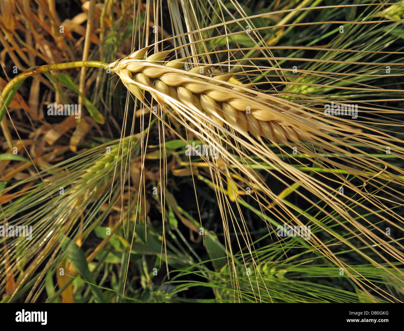 Sun,sunny,isolated,macro,close,up,closeup,close-up,cereal,grain,british,Wheat,English,england,field,farmer,farmers,farming,arable,grain,world,trade,vegetable,protein,food,Triticeae,Triticum,starch,endosperm,ear,white,flour,Gluten,sensitivity,sensitive,undetected,coeliac,disease,celiac,gliadin,Gotonysmith,barley,and,rye,gliadin,the,enzyme,tissue,transglutaminase,gluten-free,diet,glutenfree,harvested,harvests,festival,high,quality,prices,price,bushel,yield,improvement,futures,producer,low,crop,anthesis,stage,Whole,golden,gold,Buy Pictures of,Buy Images Of