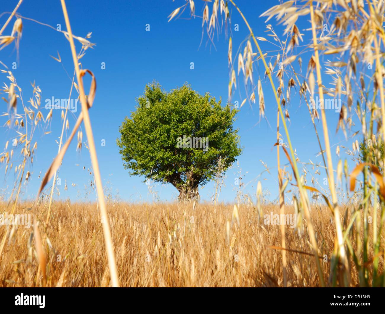 Almond tree, Provence - France - Stock Image