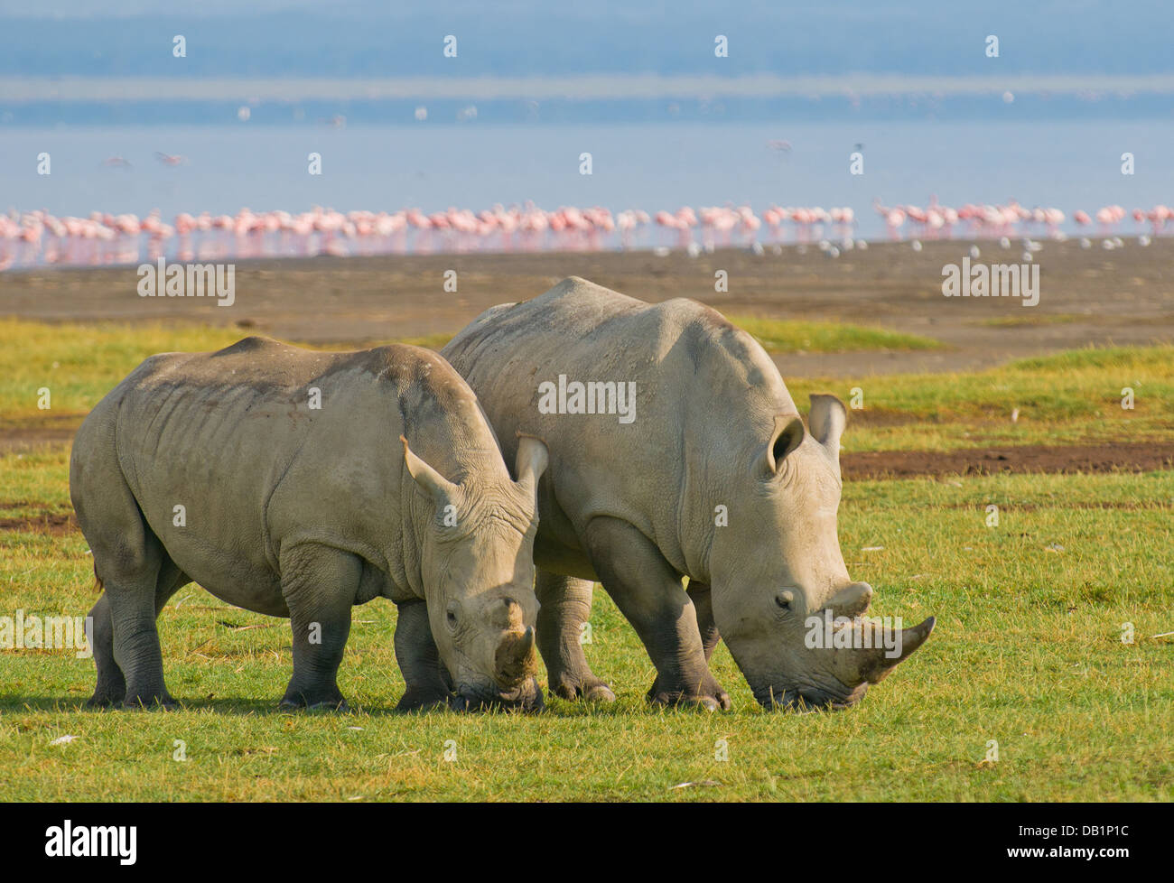 rhinos in lake nakuru national park, kenya - Stock Image