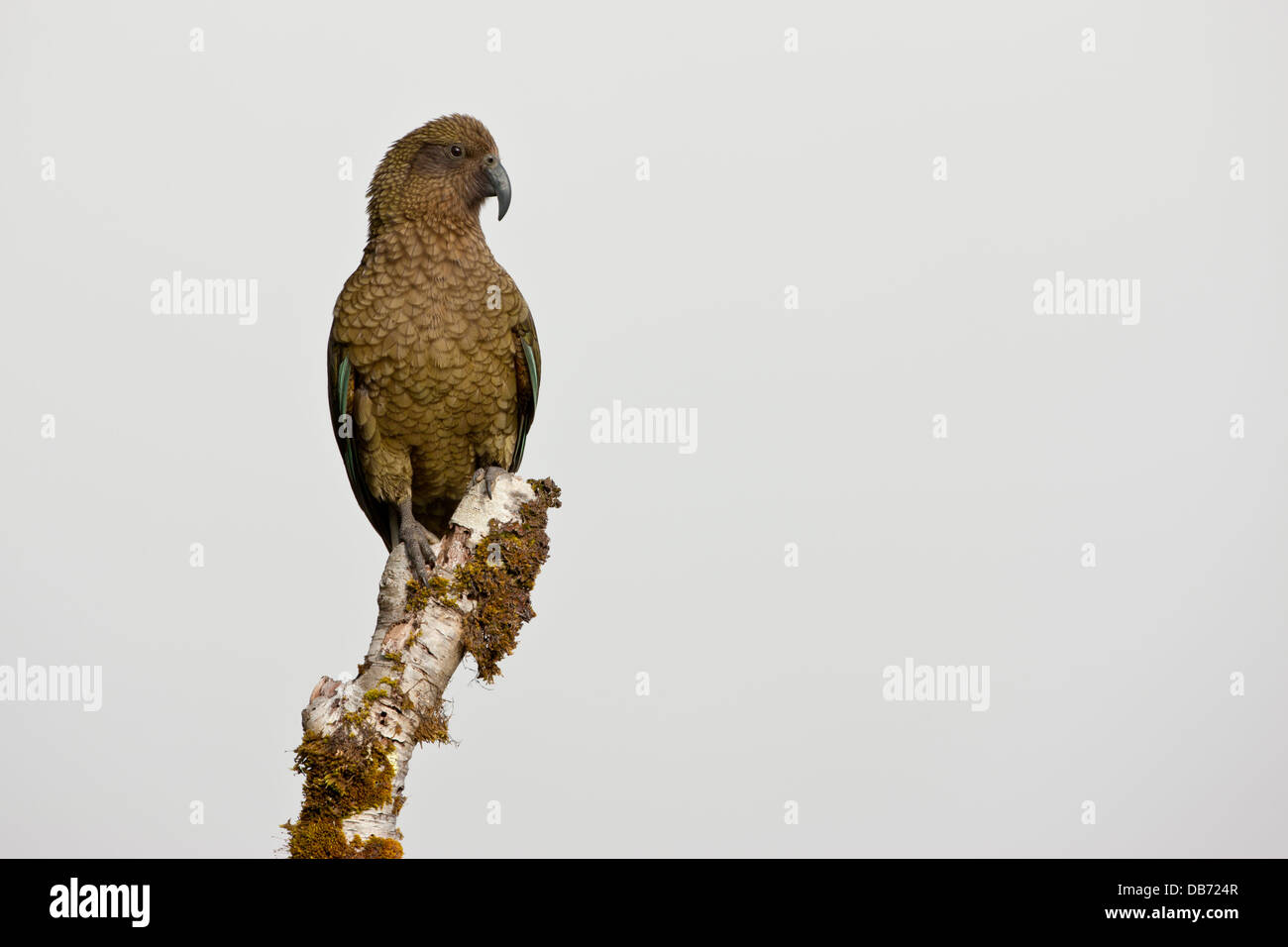 South Pacific, New Zealand, South Island, Fiordland National Park. Close-up of Kea parrot on tree stump. - Stock Image