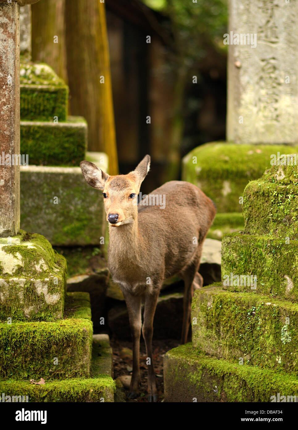 Nara deer roam free in Nara Park, Japan. - Stock Image