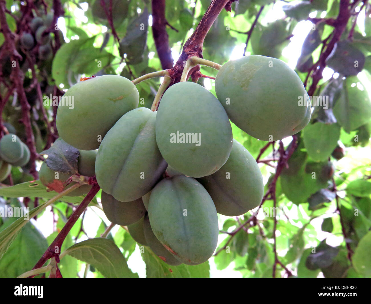 Ripe,sweet,fruit,pie,organic,eco,friendly,orchard,yard,great,Britain,GB,victoria,drupe,fruit,of,the,subgenus,Prunus,of,the,genus,Prunus,The,subgenus,is,distinguished,from,other,subgenera,in,the,shoots,having,a,terminal,bud,and,solitary,side,buds,UK,United,Kingdom,pollination,sweet,tart,Gotonysmith,@hotpixuk,hotpixuk,five,a,day,5,5aday,fruit,Buy Pictures of,Buy Images Of,Low Fat Diet,Five A Day