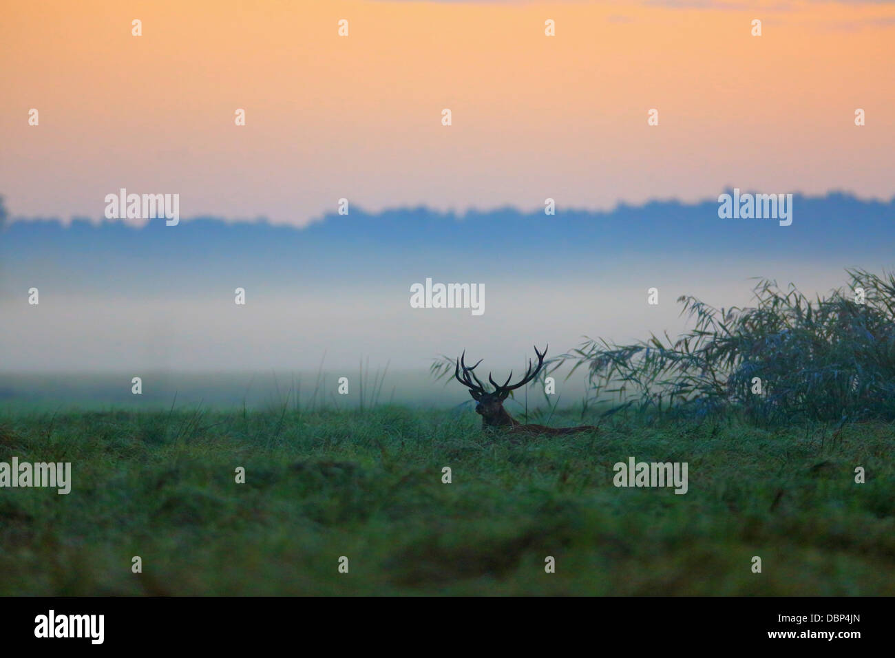 Stag At Dawn - Stock Image