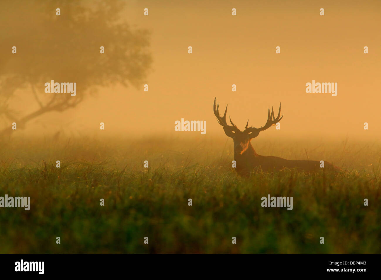 Stag In Morning Mist - Stock Image