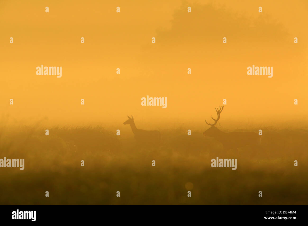Stag And Deer At Sunrise - Stock Image