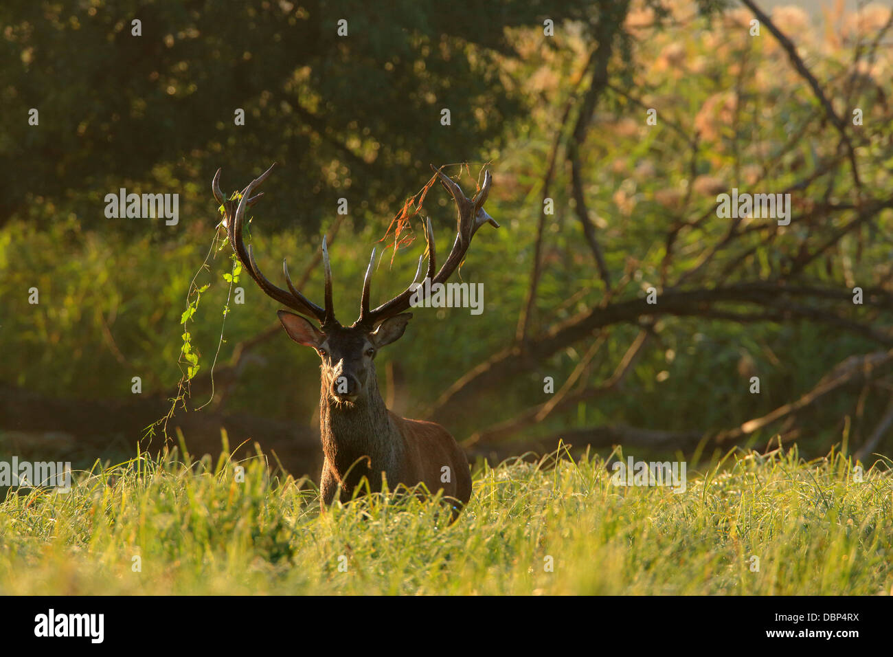 Stag In Grassy Landscape - Stock Image