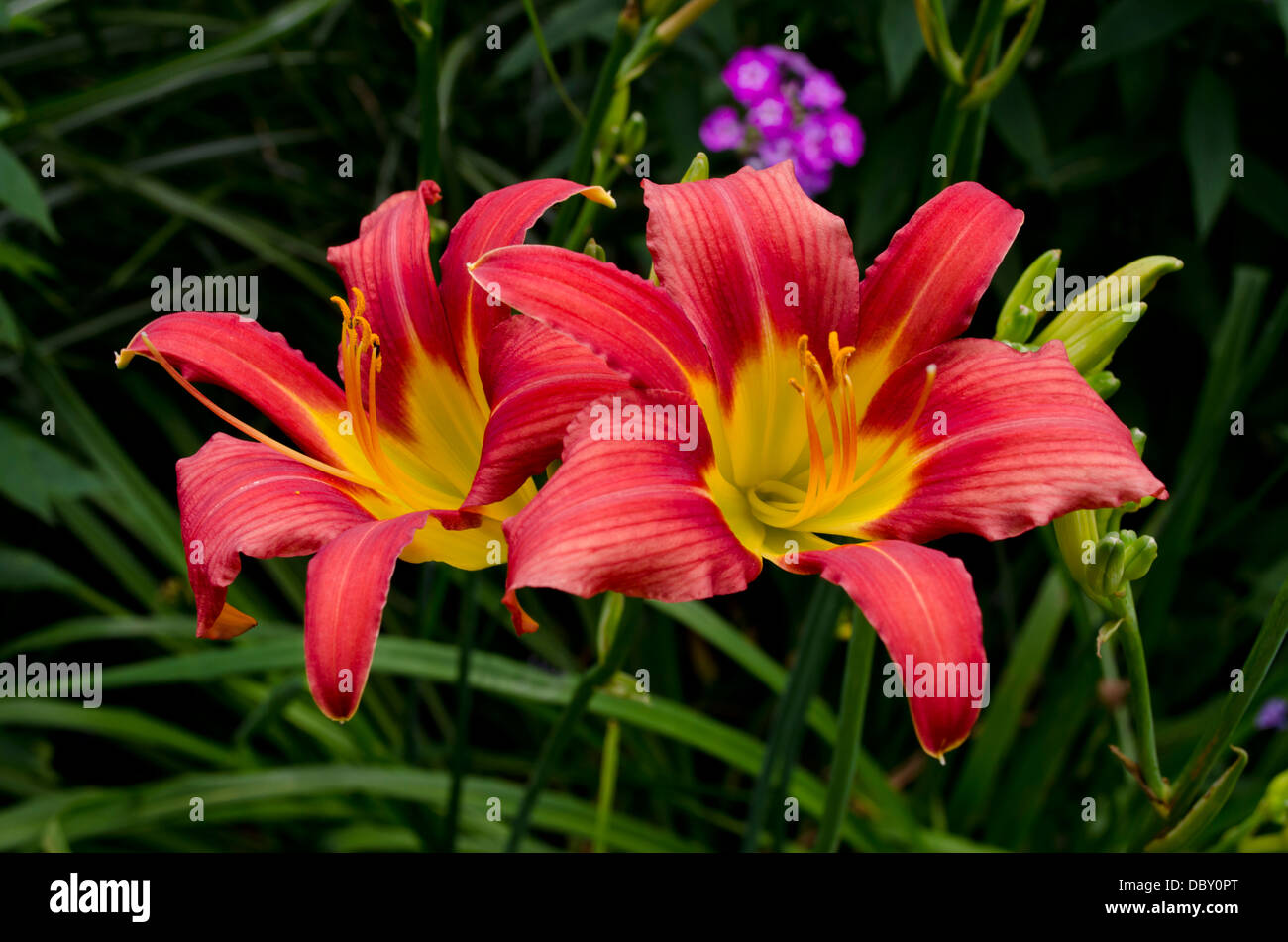 Brightly coloured red and yellow daylilies - Hemerocallis - in a summer garden. Stock Photo