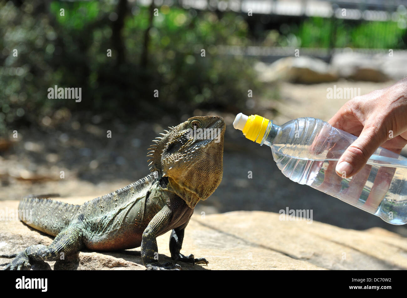 Eastern Water Dragon (Physignathus lesueurii) being offered drink from bottle. - Stock Image