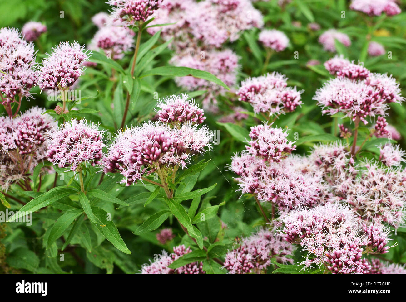 Valerian flowers in bloom in close up. - Stock Image