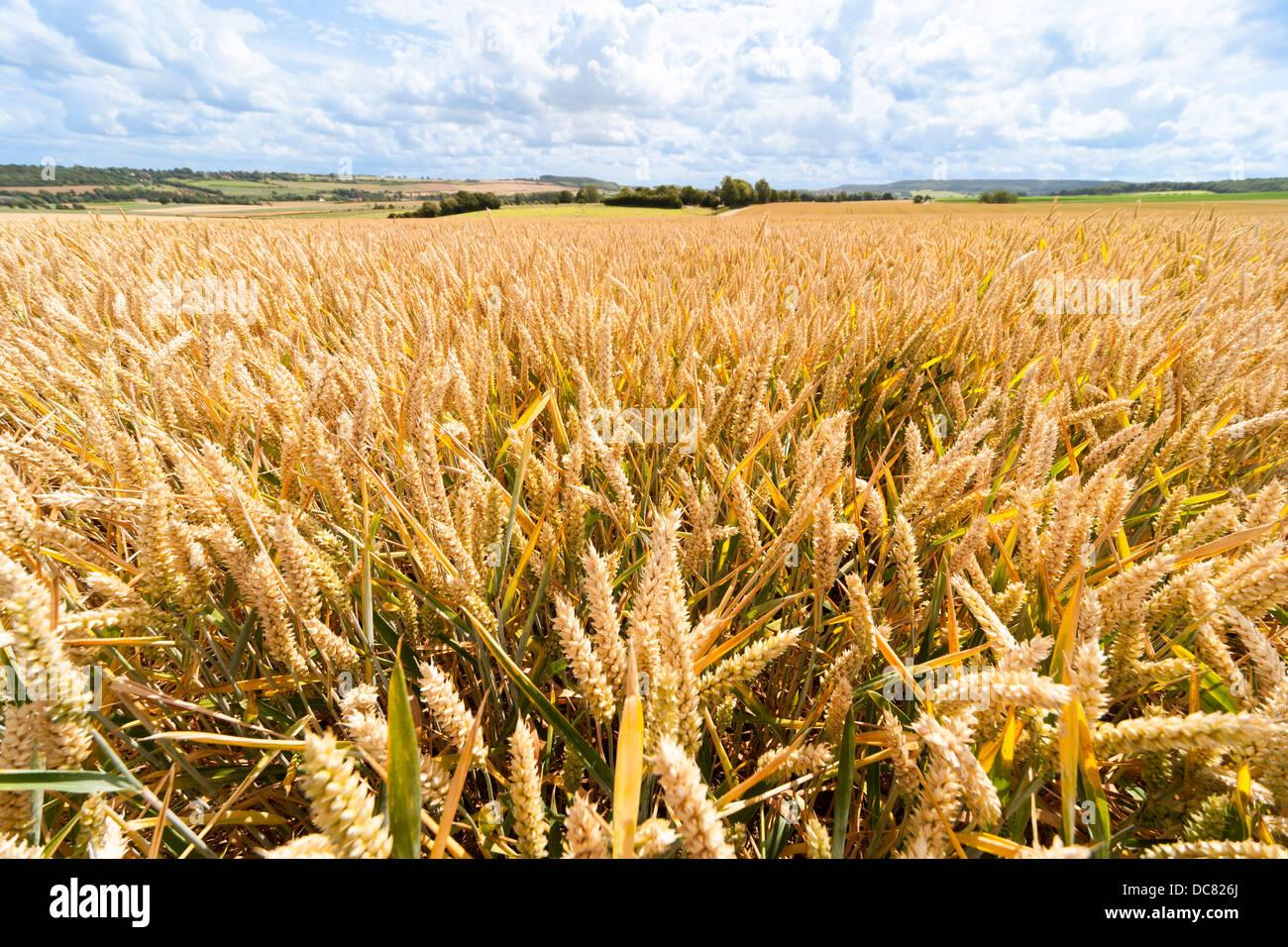 https://c7.alamy.com/comp/DC826J/ears-of-wheat-grain-in-wheat-field-fields-wheatfield-wheatfields-in-DC826J.jpg