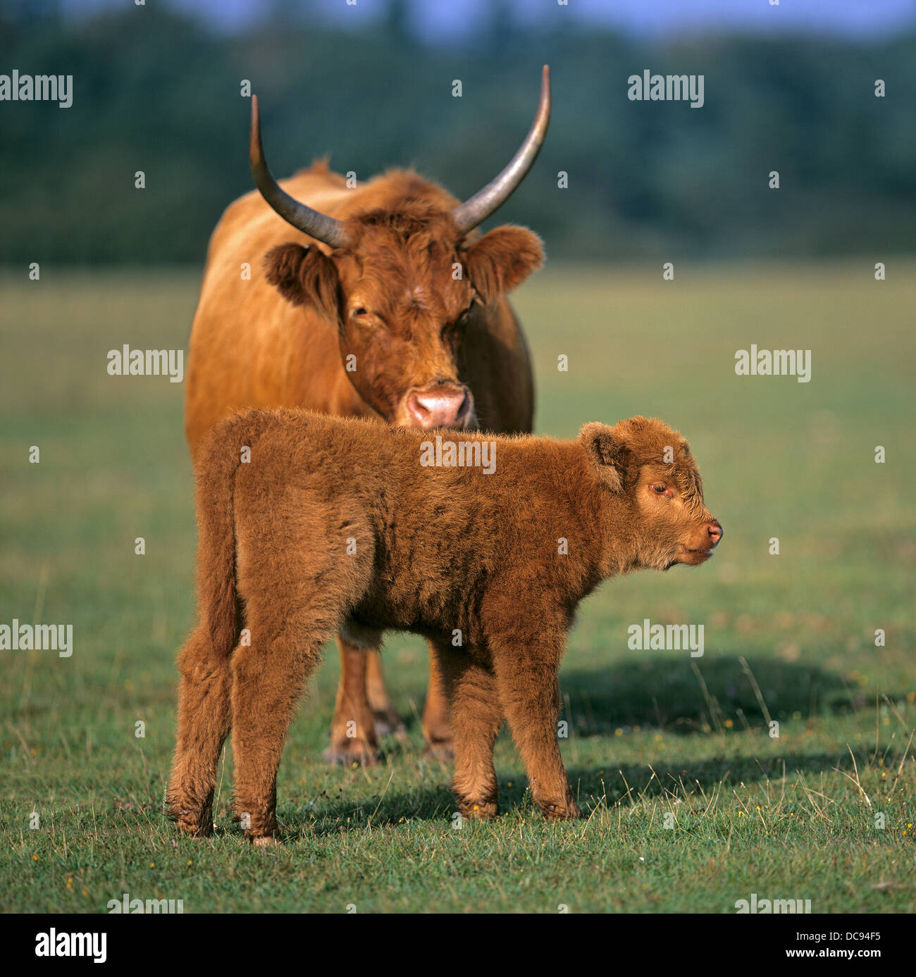 Luing cattle cow and calf on a pasture stock photo 59208105 alamy luing cattle cow and calf on a pasture publicscrutiny Images