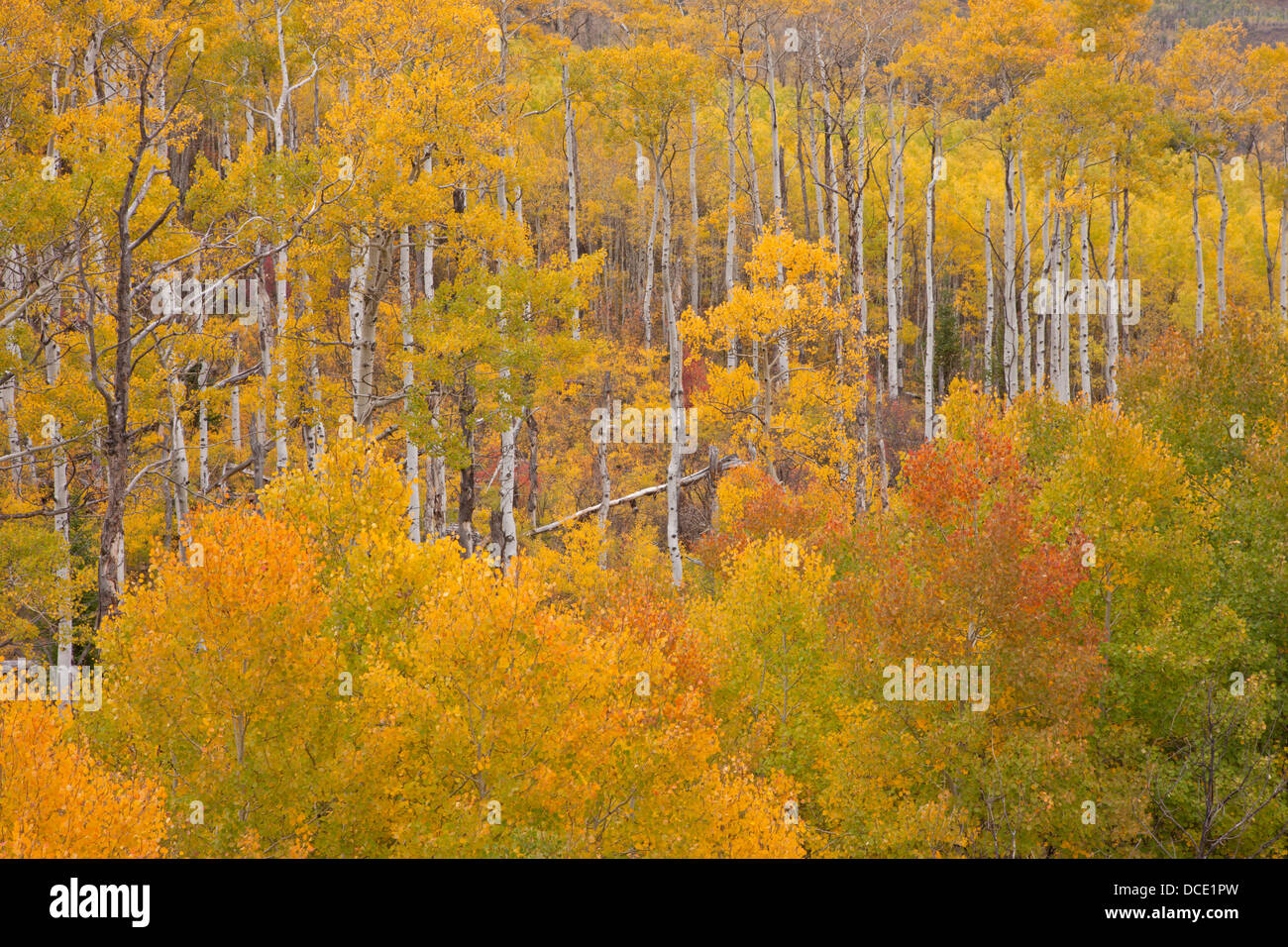 USA, Colorado, White River National Forest. Aspen grove in peak autumn foliage. - Stock Image