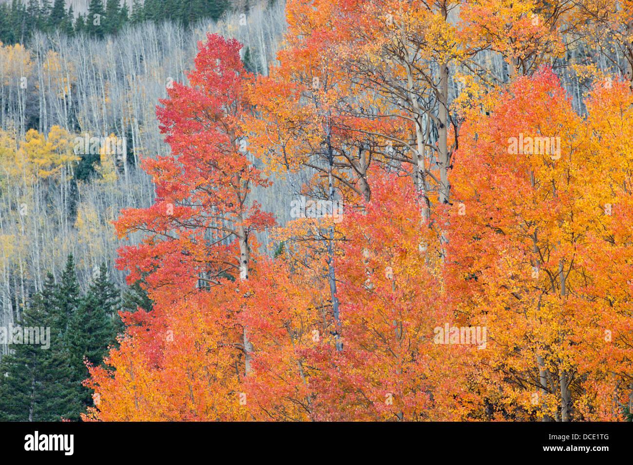 USA, Colorado, San Juan Mountains. Aspen trees in autumn colors. - Stock Image
