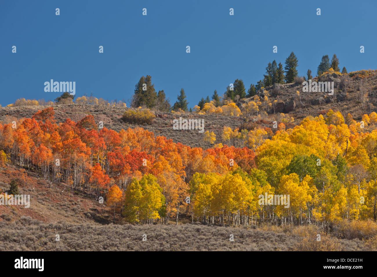 USA, Colorado. A brightly colored aspen (Populus tremuloides) grove in its peak autumn foliage - Stock Image