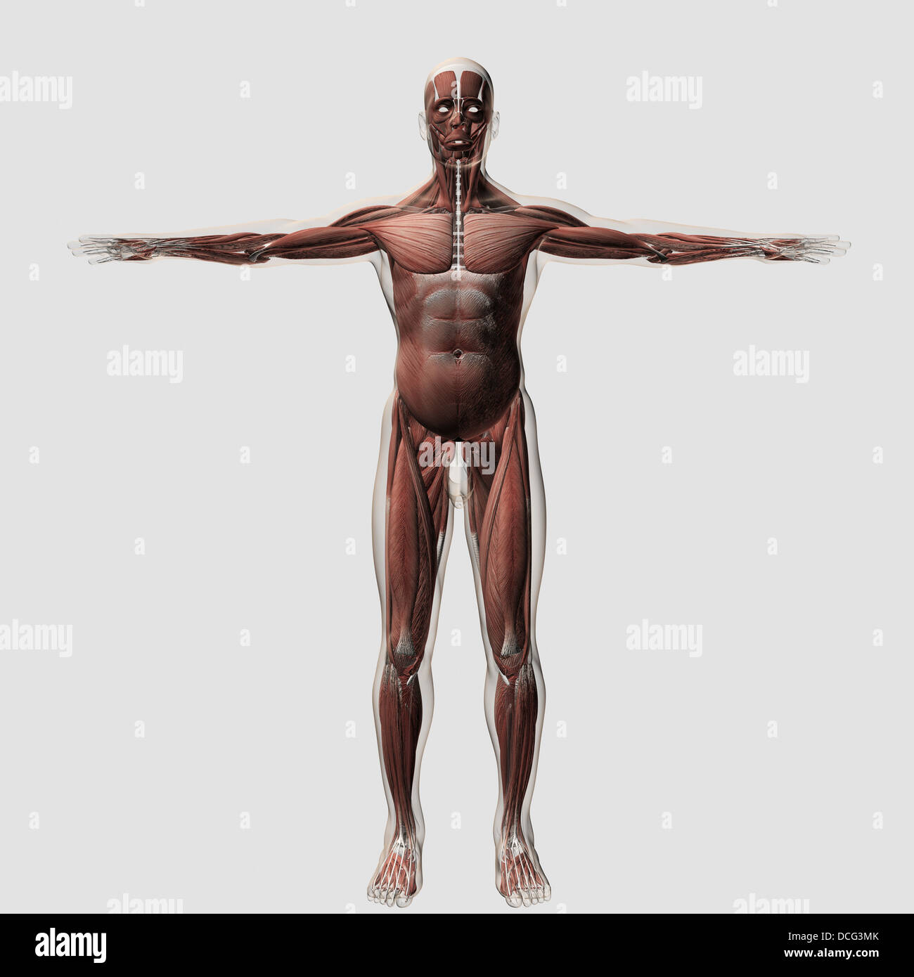 Anatomy Of Male Muscular System Front View Stock Photo 59361139