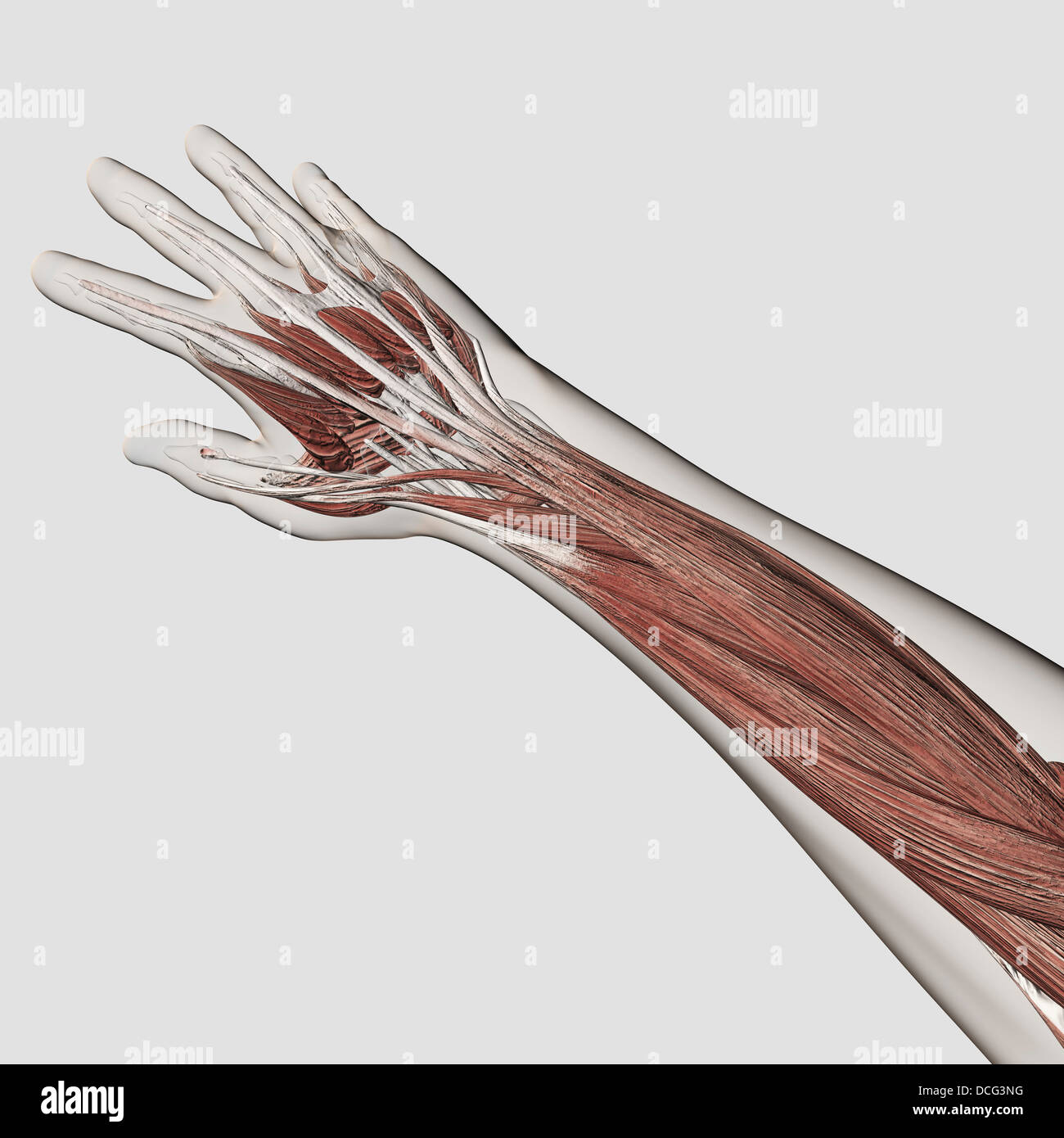 Muscle Anatomy Of Human Arm And Hand Stock Photo 59361164 Alamy