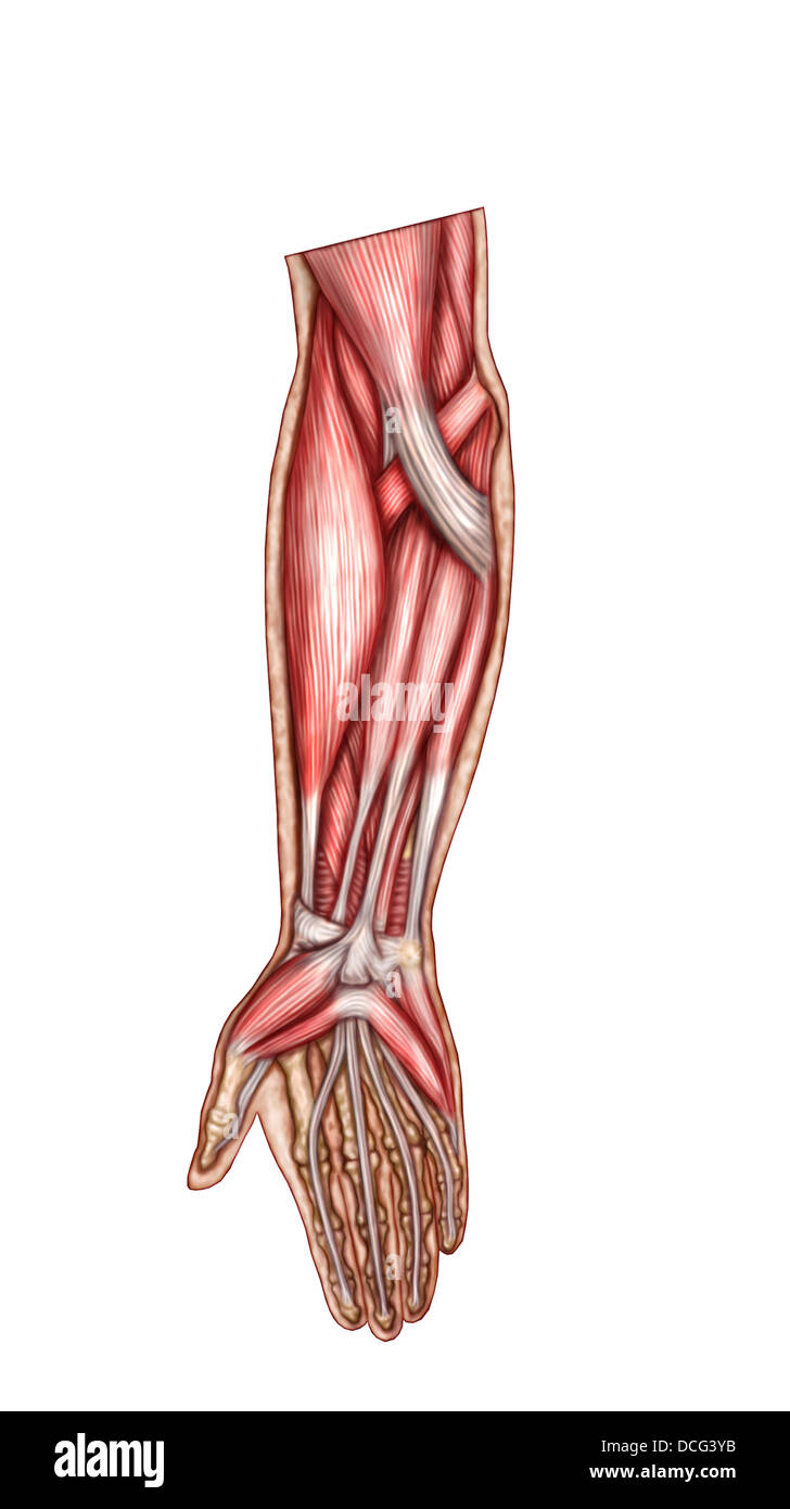Anatomy of human forearm muscles, superficial anterior view Stock ...