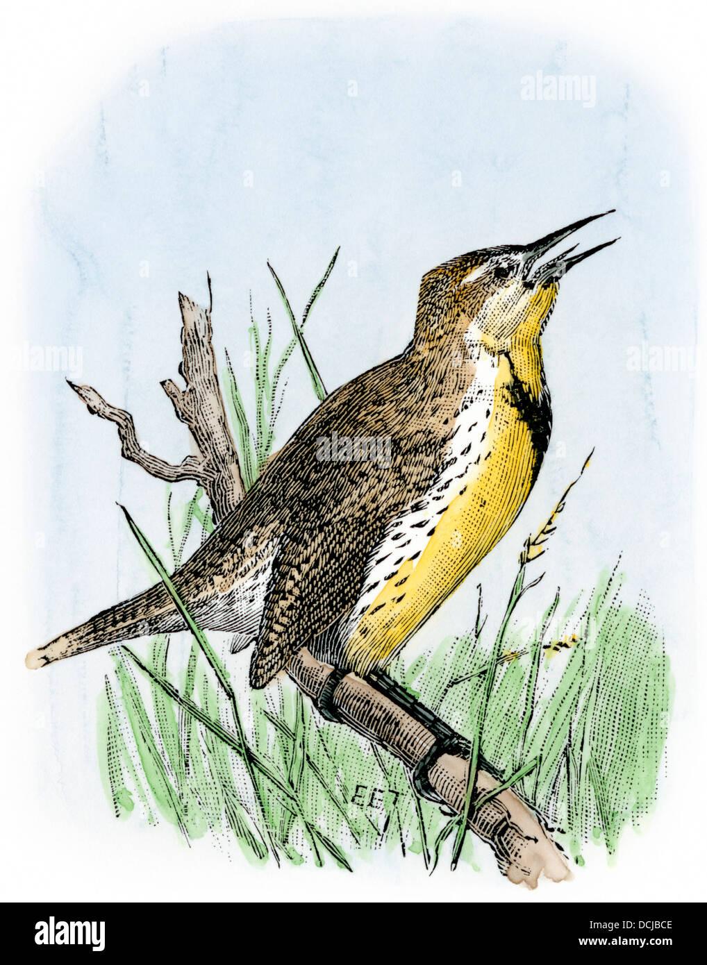 Western meadowlark singing. Stock Photo