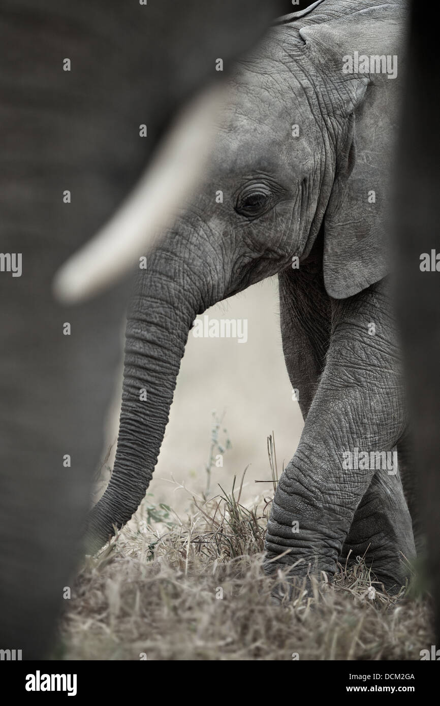 Young elephant calf with mother elephant. Tarangire National Park . Tanzania - Stock Image