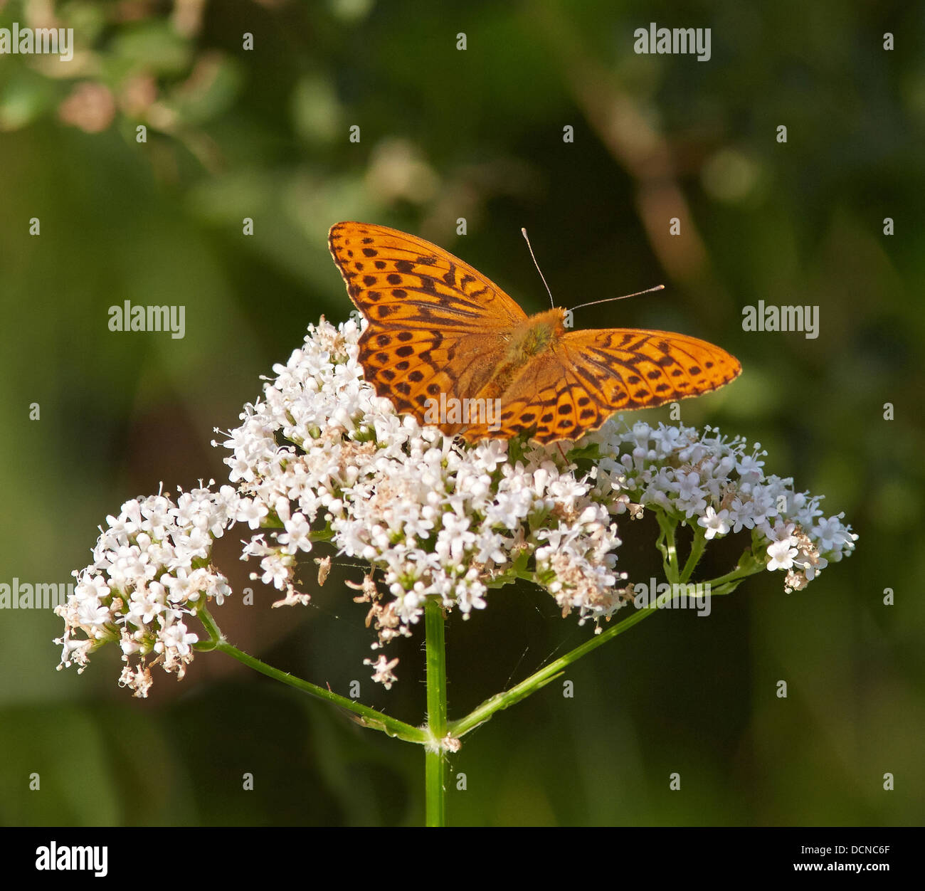 Silver Washed Fritillary Argynnis paphia male feeding on Common Valerian flower - Stock Image