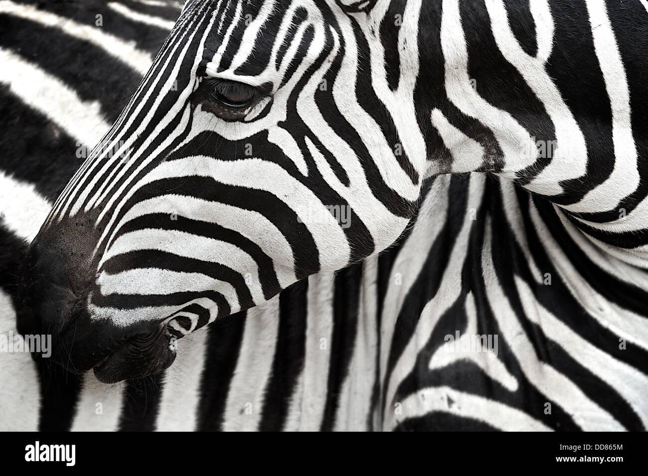 Zebra  turns to scratch its body. Tarangire . Tanzania . Africa - Stock Image
