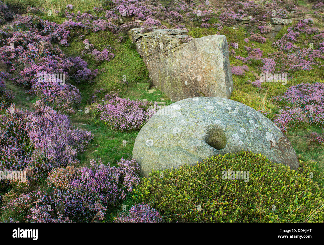 Millstone surrounded by purple heather in bloom on Bamford Edge, Peak district, Derbyshire - Stock Image