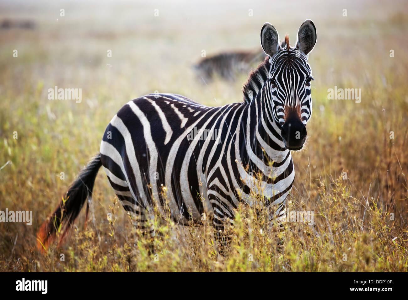 Zebra portrait on African savanna. Safari in Serengeti National Park, Tanzania - Stock Image