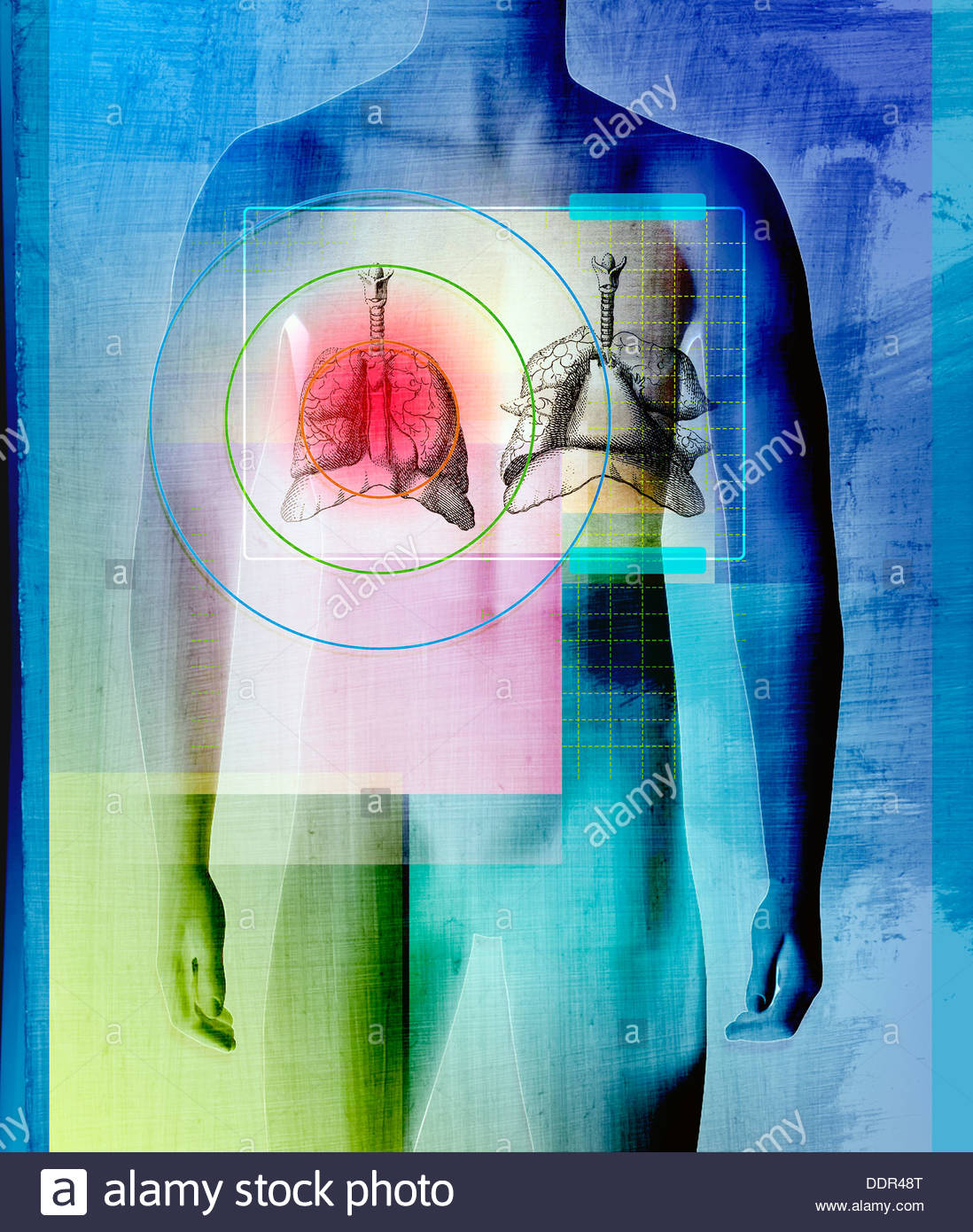 Human body with liver and lungs stock photo 60129912 alamy human body with liver and lungs ccuart Choice Image